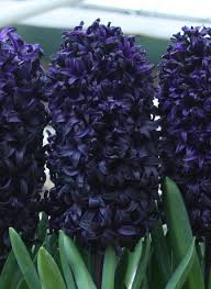 hyacinth flower hyacinth dimension black hyacinth dutchgrown