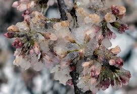Cherry Blossom Tree Facts by We Checked On The Cherry Blossoms Tuesday During The Storm It