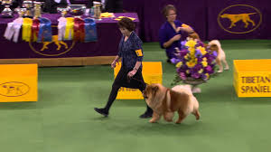 thanksgiving day dog show non sporting group westminster kennel club dog show 2016 youtube