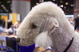bedlington terrier guide 10 of the strangest looking dogs dog reflections
