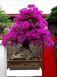 bougainvillea bonsai faq in cold states
