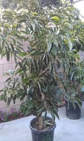 best 25 dwarf avocado tree ideas on pinterest indoor avocado
