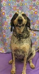 bluetick coonhound louisville ky buckhannon wv 2 yr old 47 lbs f bluetick named tessa lewis