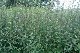 willow cultivation and varieties