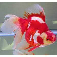 fresh water fish buy in chennai