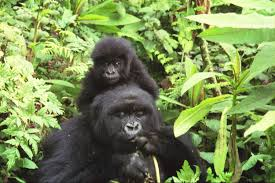 file gorilla mother and baby at volcans national park jpg