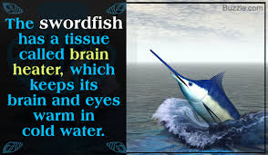 interesting facts about swordfish you probably didn t