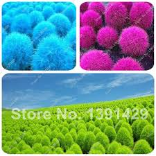 selling mix color grass seeds perennial plant 50 pcs