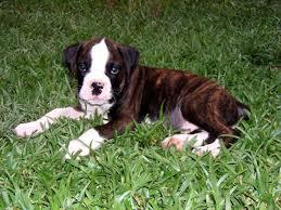 boxer dog mean best 25 brindle boxer ideas on pinterest boxer dogs brindle