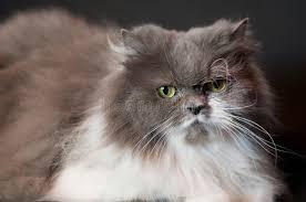 studio persiani gatto persiano grigio immagine stock immagine di studio 26437023