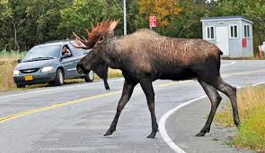 how to find a moose in anchorage in less than an hour