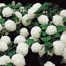 Top Flowering Shrubs - best 25 shrubs ideas on pinterest shade plants tree planting