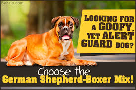 boxer incredible information about the german shepherd boxer mix breed