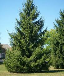 spruce trees for sale caledon treeland