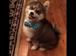 when you mix pomeranian and husky youtube