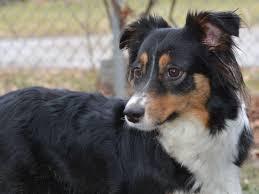 australian shepherd illinois maureen chappell puppies for sale