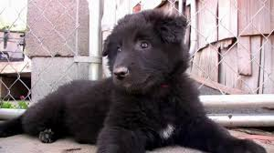 belgian shepherd ohio amish puppy mills ohio puppies puppy