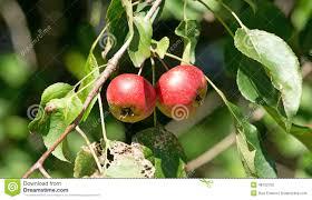 maine native plants native maine wild apples stock photo image 48752169