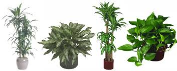 Indoor Tropical Plants For Sale - low light plants indoor plants u0026 house plants in boston ma