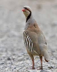 chukar audubon field guide
