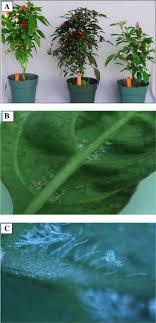 ornamental pepper as banker plants for establishment of amblyseius
