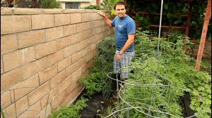 growing tomatoes against a wall on trellis with california