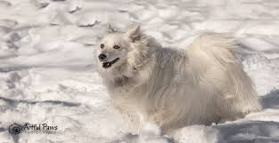 american eskimo dog virginia the perfect snow dog rescue pet of the week u2013 va dog photographer