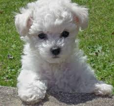 bichon frise uae adorable bichon frise puppies dubai animals u0026 pets