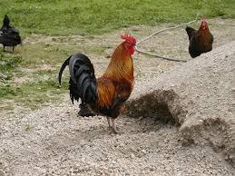casportpony u0027s random chicken pictures backyard chickens