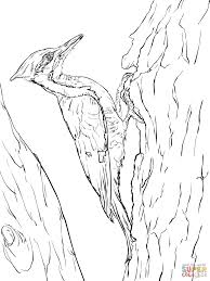 pileated woodpecker coloring page free printable coloring pages