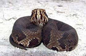 Louisiana wild animals images The 7 venomous snakes in louisiana and where they 39 re located png