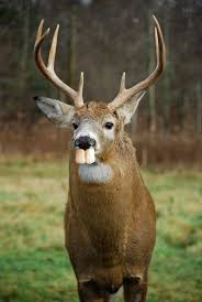 Buck Teeth Meme - male deer have buck teeth imgur