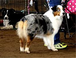 double r australian shepherds show dogs