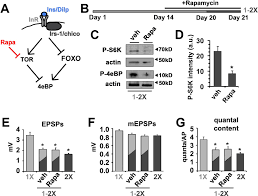 insulin signaling controls neurotransmission via the 4ebp