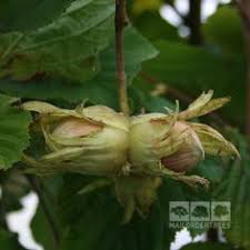 magnolia grandiflora gem evergreen magnolia mail order