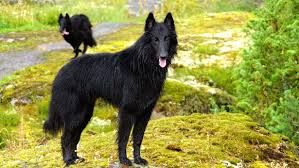 belgian shepherd los angeles slow belgian groenendaels 2 della u0026 devil youtube