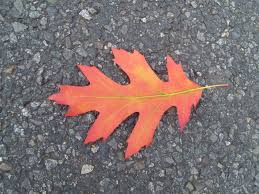 free picture red autumn leaf