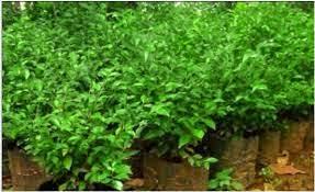 Teh Tehan pohon pagar pohon hias teh tehan pohon teh tehan green