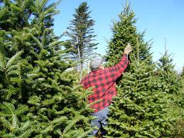 drought wildfires spare nc christmas tree harvest wunc
