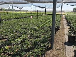 native plant nursery ontario fremontia horticultural inc fremontodendron wholesale