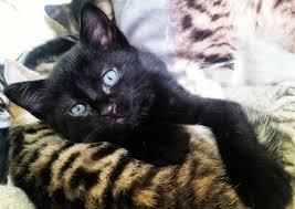 beautiful kittens 3 beautiful kittens mother siamese bengal x haywards heath west