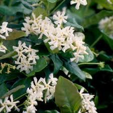 deer resistant vines u0026 climbing plants garden plants u0026 flowers