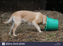 dog yellow labrador retriever eating from a food bowl stock photo
