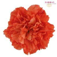 wholesale carnations carnations orange fancy wholesale blooms by the box
