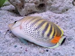 46 best aquarium fish disease images on aquarium fish