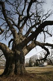oldest tree in lake county will be removed merrillville nwitimes com