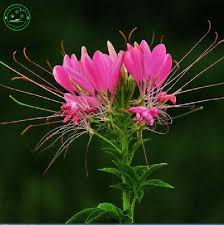 Cleome Flower - popular cleome flower buy cheap cleome flower lots from china