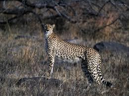 file cheetah kruger national park south africa 2001 jpg