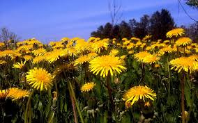 weeding wild suburbia all about food for forage dandelion it u0027s not just a weed one green planet