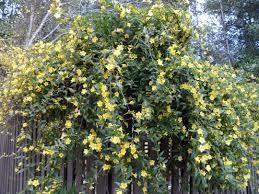 gelsemium sempervirens carolina jessamine jasmine